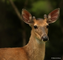 white-tailed-deeri77a4099-maria-de-bruyn-res