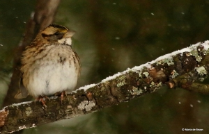 white-throated-sparrow-i77a2733-maria-de-bruyn-res