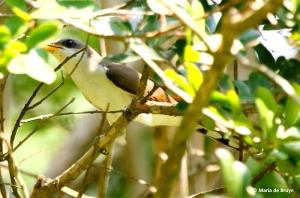 yellow-billed-cuckoo-i77a1564-maria-de-bruyn-res