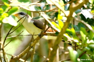 yellow-billed-cuckoo-i77a1564-maria-de-bruyn-res
