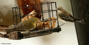 yellow-rumped-warbler-i77a3138-maria-de-bruyn-res