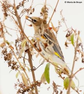 yellow-rumped-warbler-i77a3913-maria-de-bruyn-res