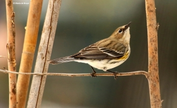 yellow-rumped-warbler-i77a4305-maria-de-bruyn-res