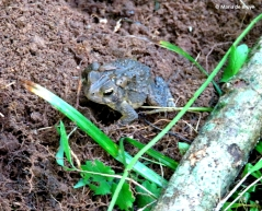 american-toad-img_0013-maria-de-bruyn-res