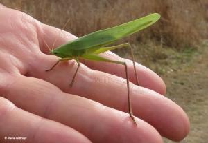 broad-tipped-conehead-katydid-neoconocephalus-triops-img_1403-maria-de-bruyn-res