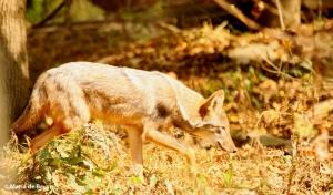 coyote-i77a8913-maria-de-bruyn-res
