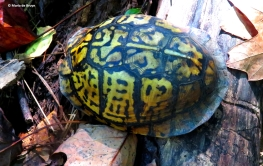 eastern-box-turtle-img_4536-maria-de-bruyn-res