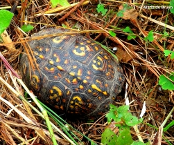 eastern-box-turtle-img_5682-maria-de-bruyn-res