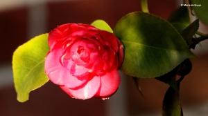 camellia-i77a1922-maria-de-bruyn-res