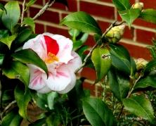 camellia-img_1816-maria-de-bruyn-res