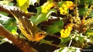 cape-may-warbler-i77a5989-maria-de-bruyn-2res