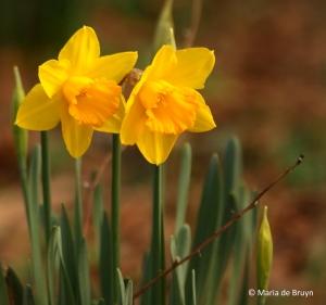 daffodil-i77a2325-maria-de-bruyn-res