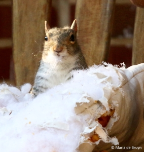eastern-gray-squirrel-i77a0079-maria-de-bruyn-res