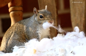 eastern-gray-squirrel-i77a0093-maria-de-bruyn-res