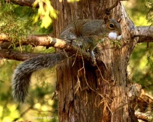 eastern-gray-squirrel-i77a0107-maria-de-bruyn-res