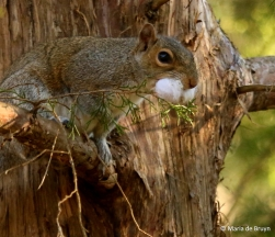 eastern-gray-squirrel-i77a0108-maria-de-bruyn-res