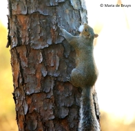 eastern-gray-squirrel-i77a0125-maria-de-bruyn-res
