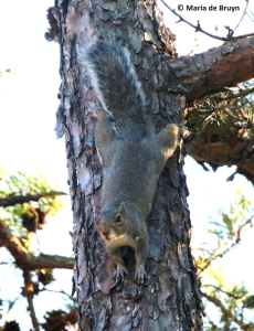 eastern-gray-squirrel-i77a0142-maria-de-bruyn-res