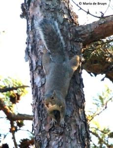 eastern-gray-squirrel-i77a0142-maria-de-bruyn-res