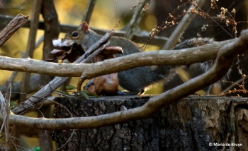eastern-gray-squirrel-i77a1995-maria-de-bruyn-res