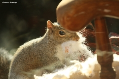 eastern-gray-squirrel-i77a9708-maria-de-bruyn