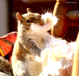 eastern-gray-squirrel-i77a9795-maria-de-bruyn-res