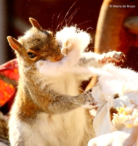 eastern-gray-squirrel-i77a9796-maria-de-bruyn-res