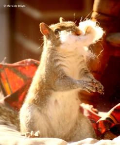 eastern-gray-squirrel-i77a9801-maria-de-bruyn-res