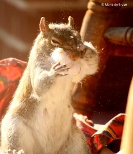 eastern-gray-squirrel-i77a9802-maria-de-bruyn-res
