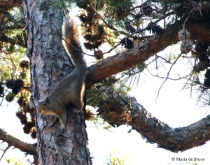 eastern-gray-squirrel-i77a9817-maria-de-bruyn-res
