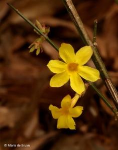 winter-jasmine-i77a0793-maria-de-bruyn-res