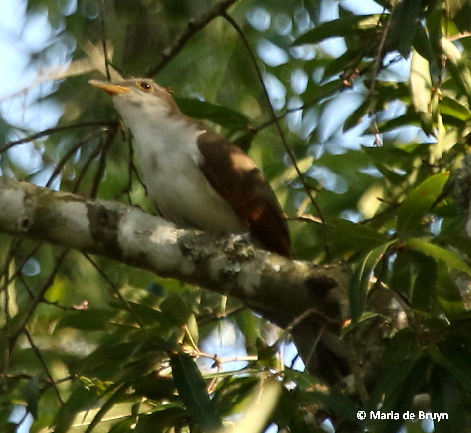 Also Unexpected Have Been My More Frequent Sightings Of Cuckoos In Yard Last Year I Had Caught A Glimpse One Crepe Myrtle Tree