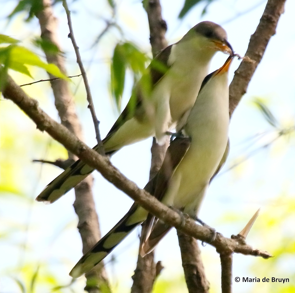 Yellow Billed Cuckoo Snaps Off A Short Twig That He Presents To The Female As Perches On Her Back And Leans Over Shoulder