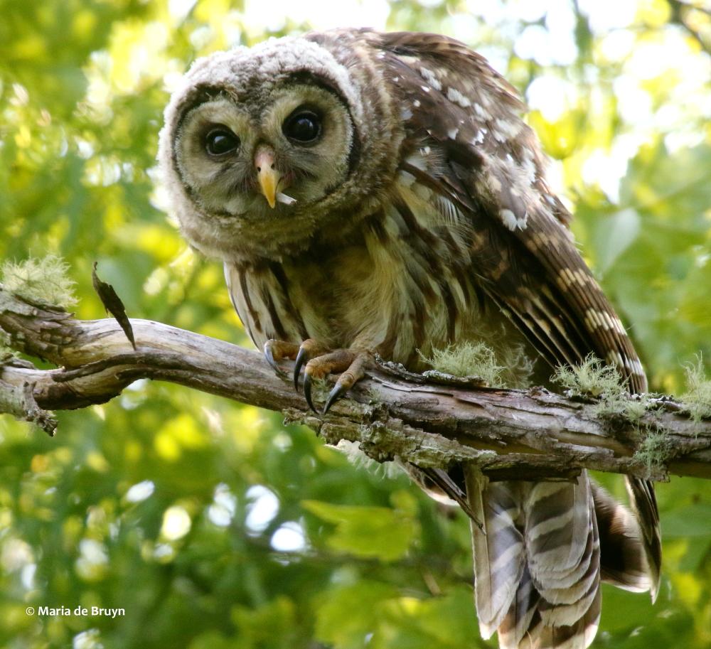 barred owl | My beautiful world