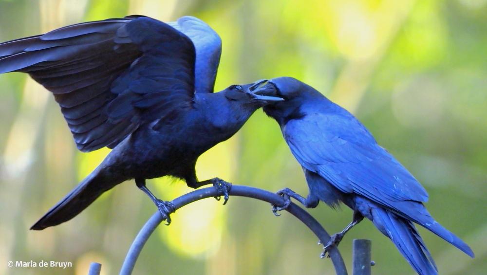 American crow P4080661 © Maria de Bruyn res