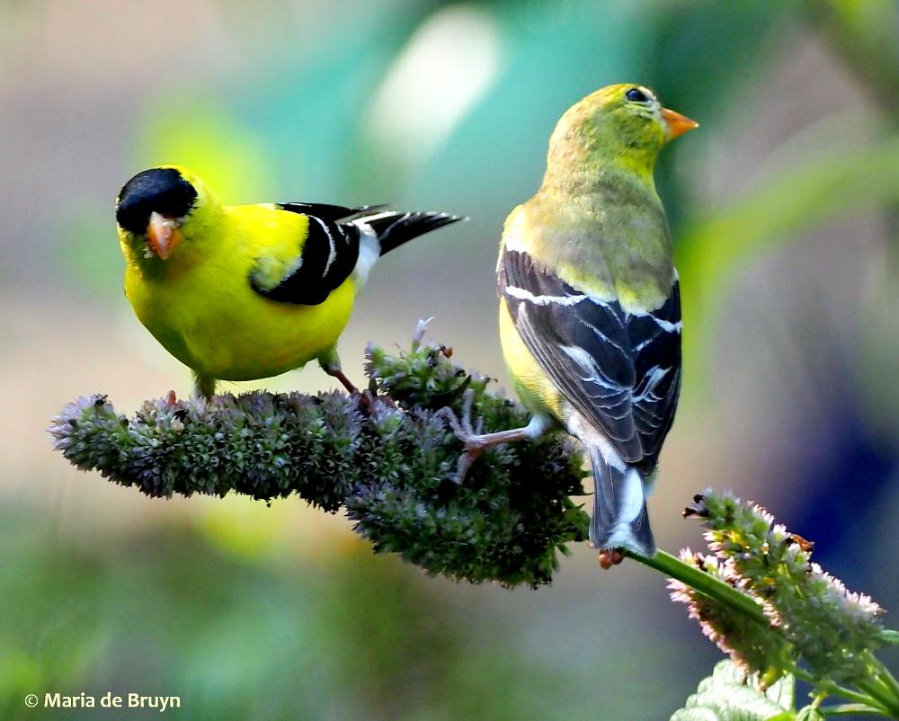 American goldfinch P7130178 © Maria de Bruyn res