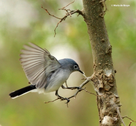 blue-gray gnatcatcher IMG_8085© Maria de Bruyn res