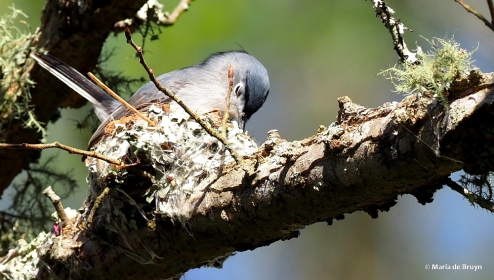 blue-gray gnatcatcher P4027629 © Maria de Bruyn res