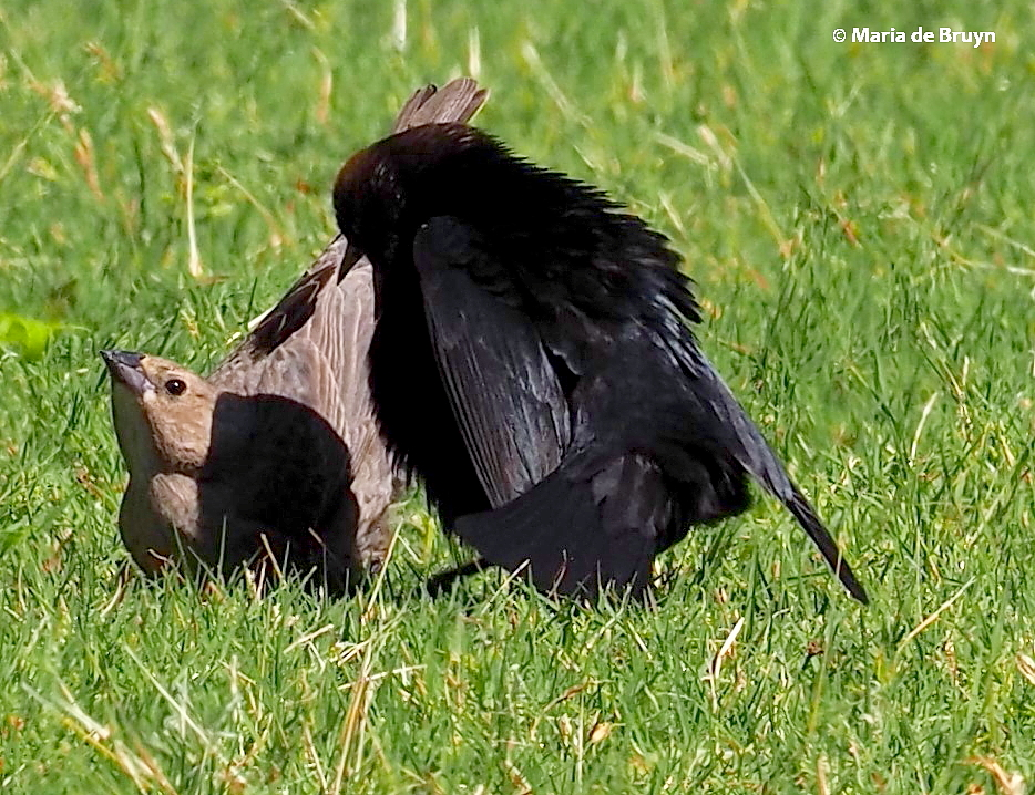 brown-headed cowbird P5097676 © Maria de Bruyn res