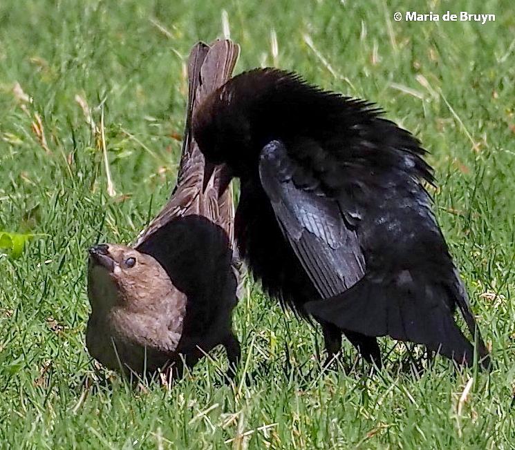 brown-headed cowbird P5097686© Maria de Bruyn res