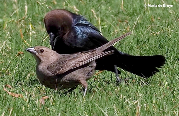 brown-headed cowbird P5097689© Maria de Bruyn res
