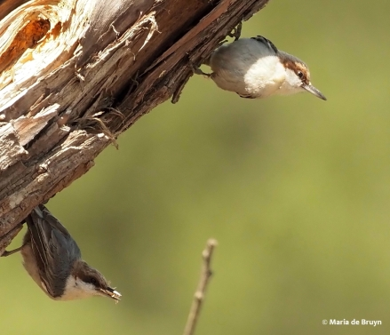 brown-headed nuthatch P4175229 © Maria de Bruyn res