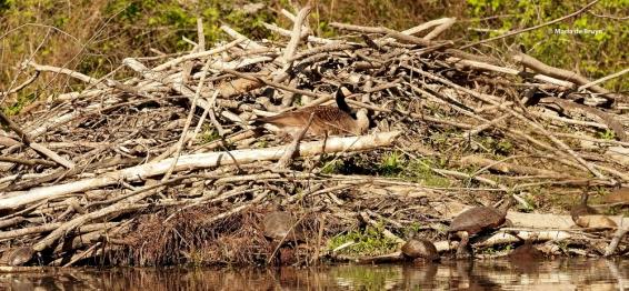 Canada goose P4070275 © Maria de Bruyn res