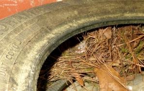 Carolina wren eggs IMG_1173© Maria de Bruyn res