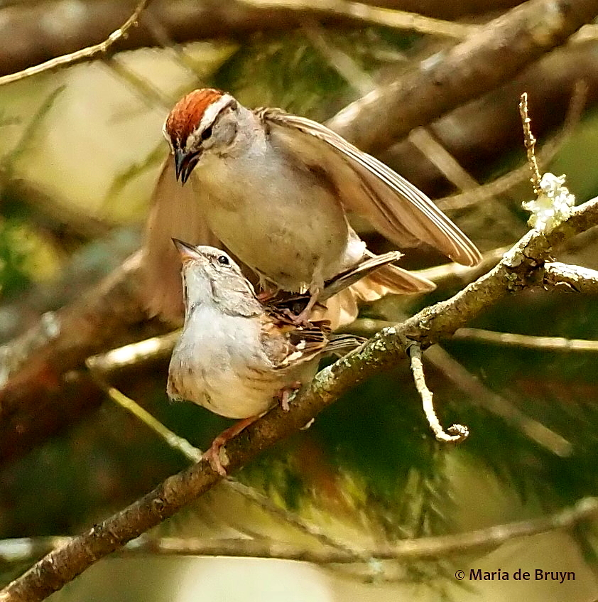 chipping sparrow P6256622© Maria de Bruyn res