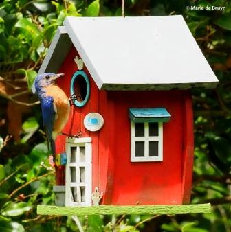 Eastern bluebird P7091193 © Maria de Bruyn res