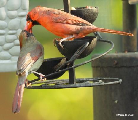 Northern cardinal P4164873© Maria de Bruyn res