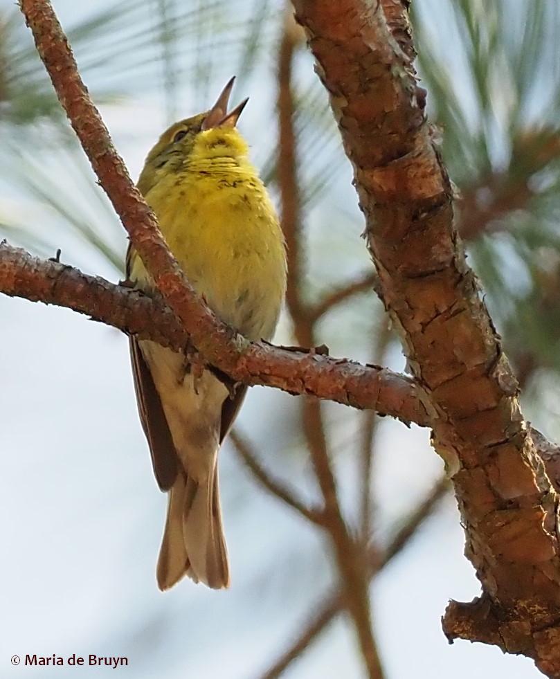 pine warbler P4175086© Maria de Bruyn