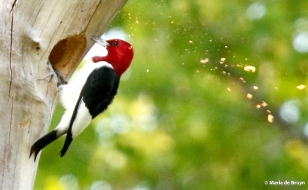 red-headed woodpecker 2G0A0033© Maria de Bruyn res