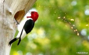 red-headed woodpecker 2G0A0033© Maria de Bruyn res